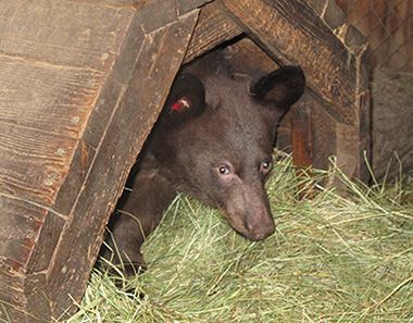 Hoa coming out of a bear shelter