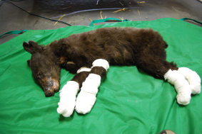 Bear that suffered severe burns from Washington
