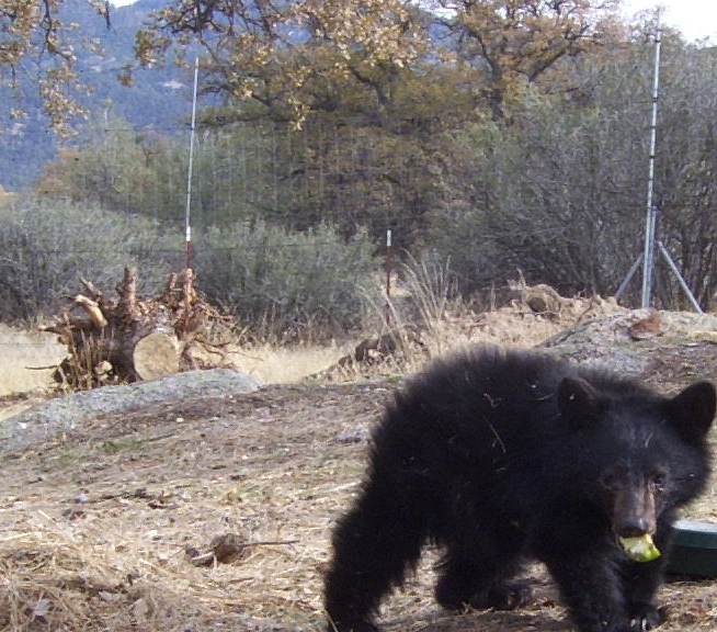 For The Bears - 32 bears decided try human